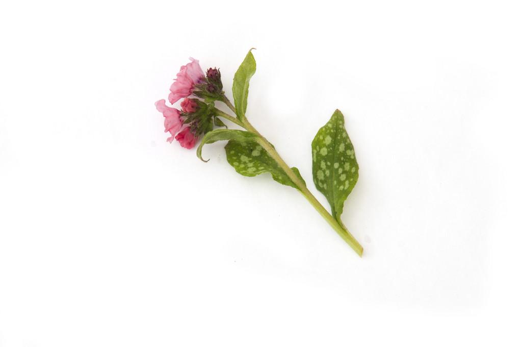 lungwort 'Pink Haze'