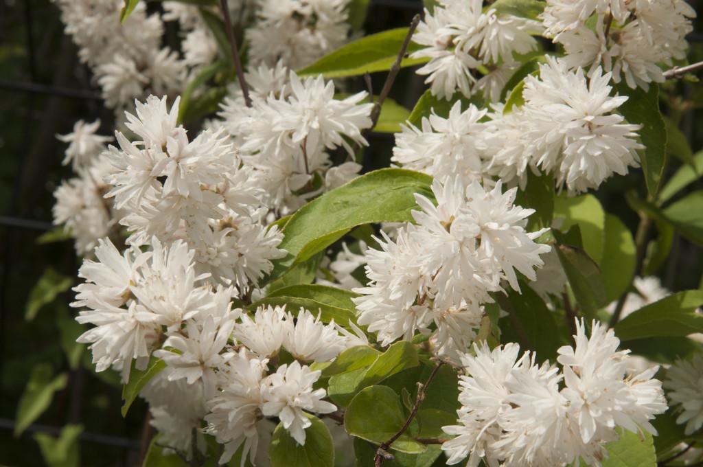 deutzia 'Candidissima'