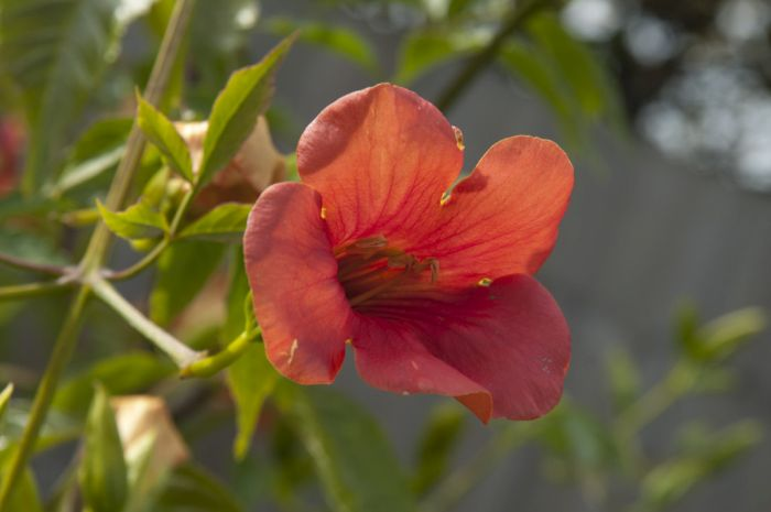 Chinese trumpet creeper