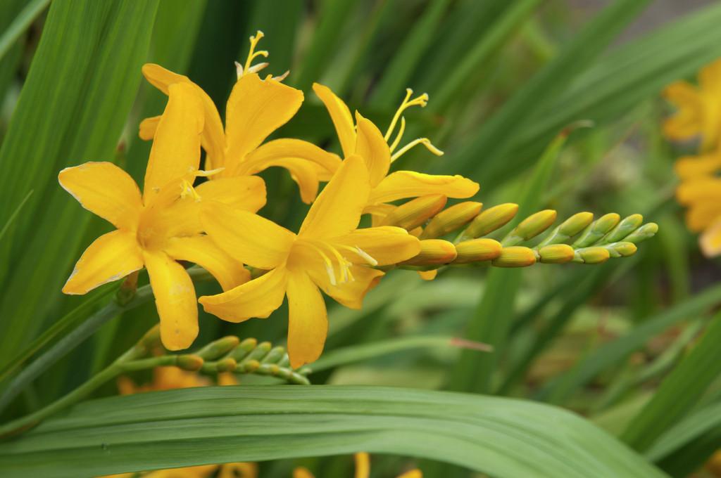 montbretia 'Paul's Best Yellow'