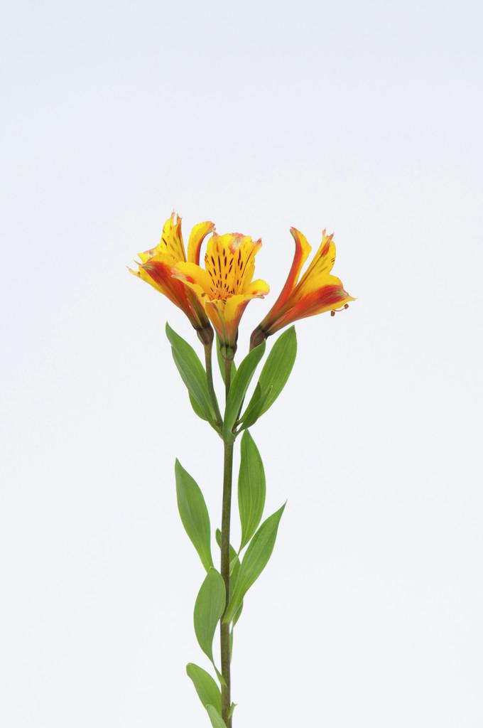 Peruvian lily [Inca Exotica]