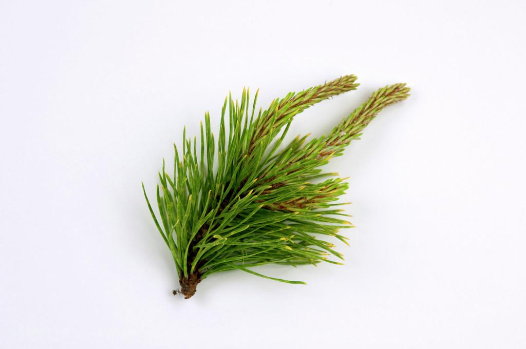 lodgepole pine 'Chief Joseph'