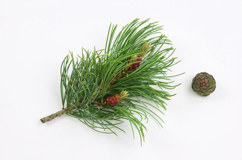 Japanese white pine 'Bonnie Bergman'