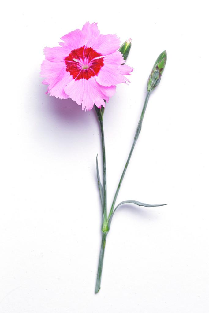 clove pink 'Sweetness'
