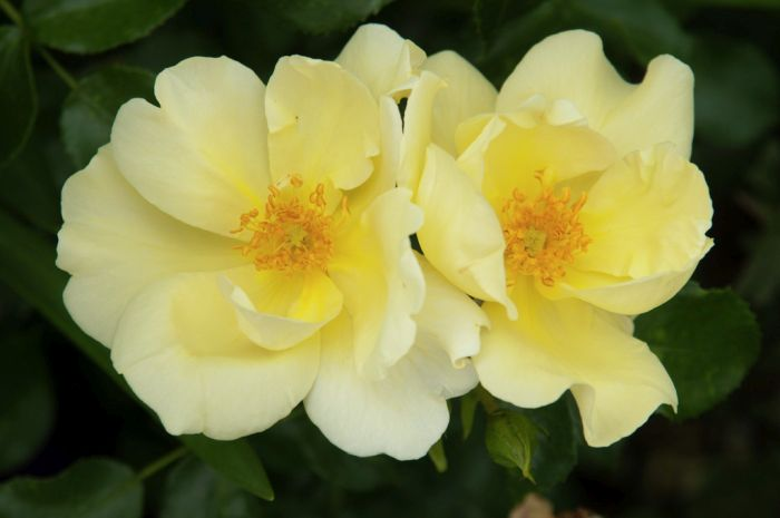 rose [Worcestershire]