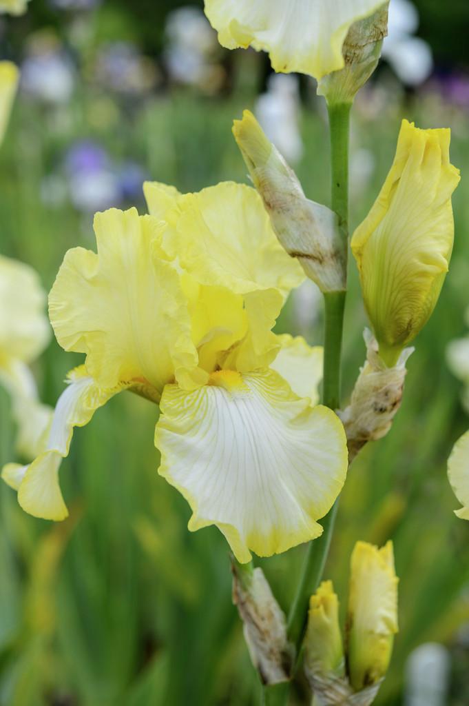 <i>Iris</i> 'Godfrey Owen' (TB)