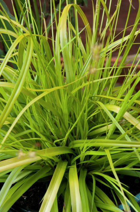 Japanese sedge 'Everillo'