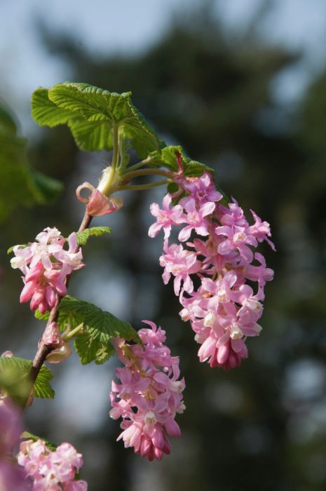 flowering currant 'Poky's Pink'