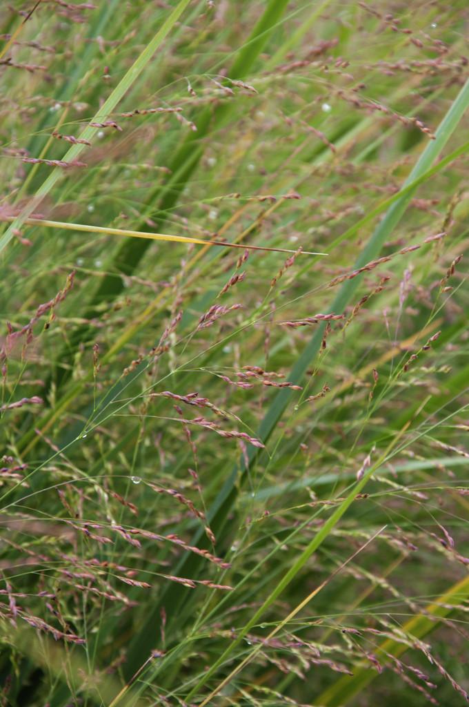 switch grass 'Northwind'