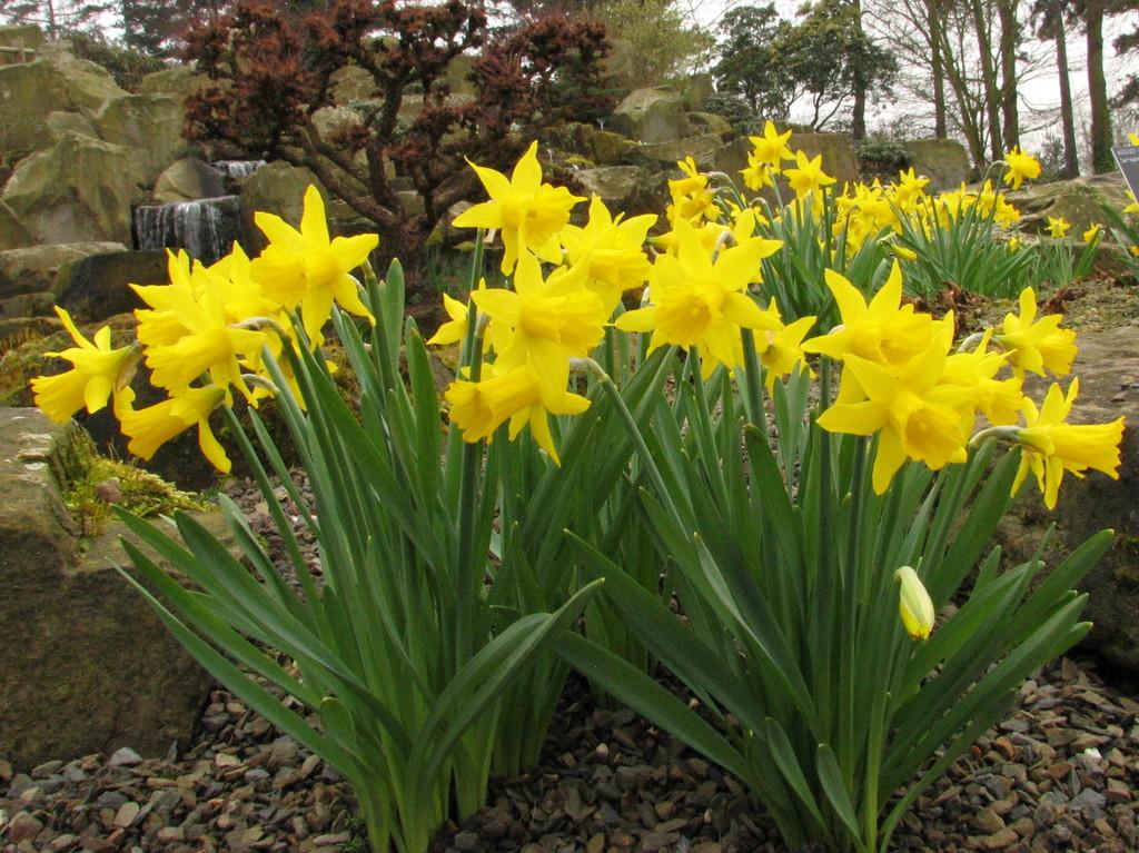 daffodil 'Small Talk'