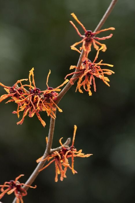 witch hazel 'Aphrodite'