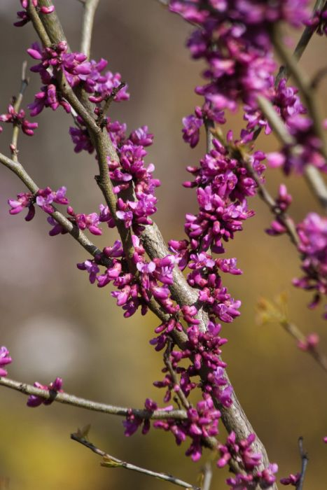 Chinese redbud 'Don Egolf'