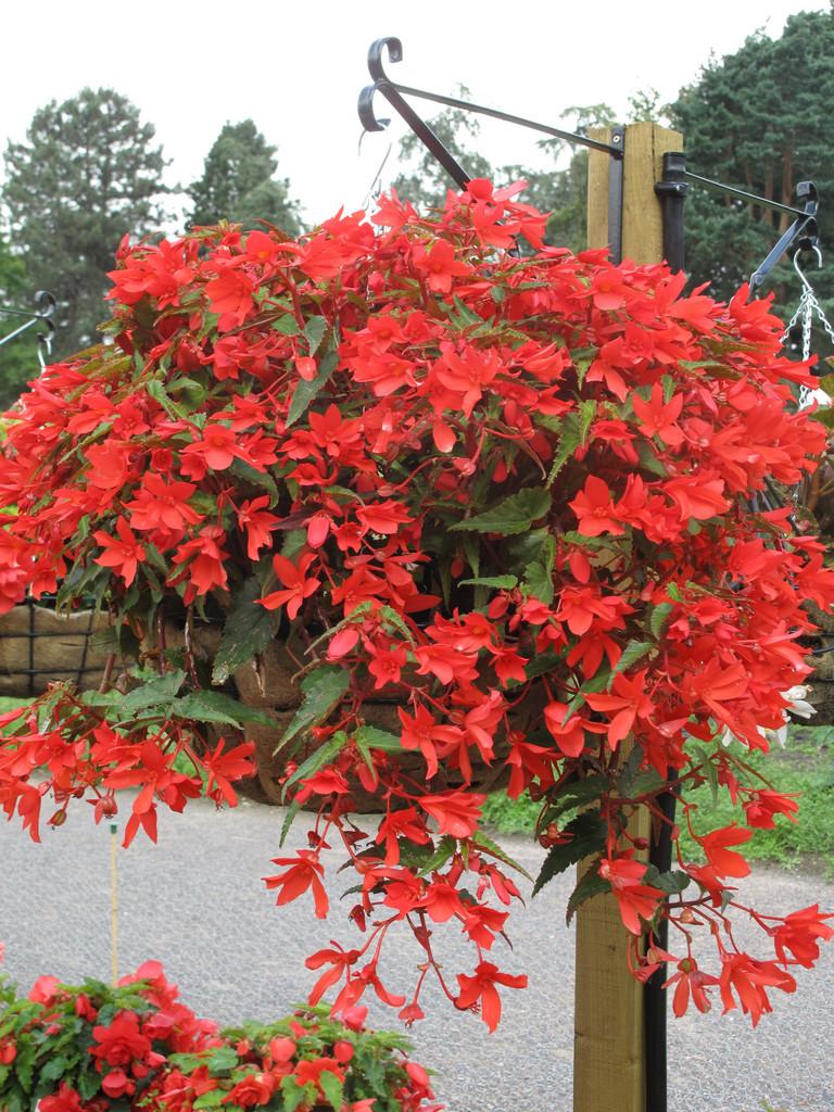 begonia 'Sparkler Red'
