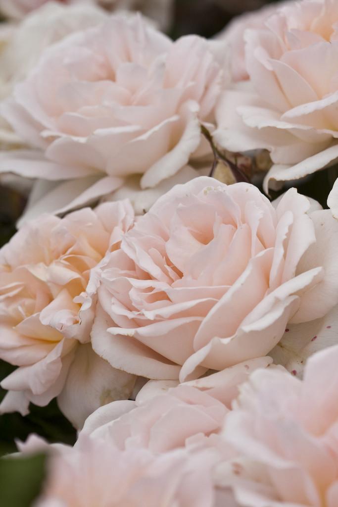 Rosa Chandos Beauty Harmisty Pbr Ht Rose