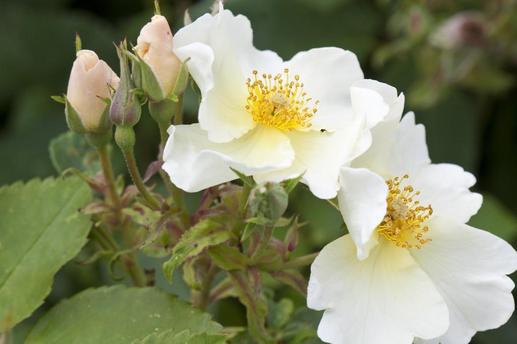 rose [Kew Gardens]