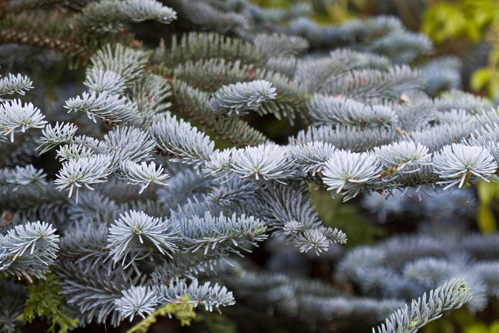 noble fir 'Glauca Prostrata'