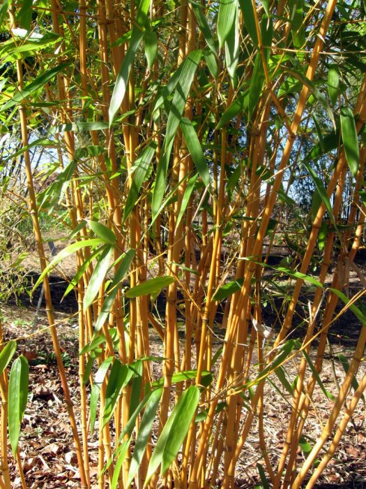 yellow-groove bamboo