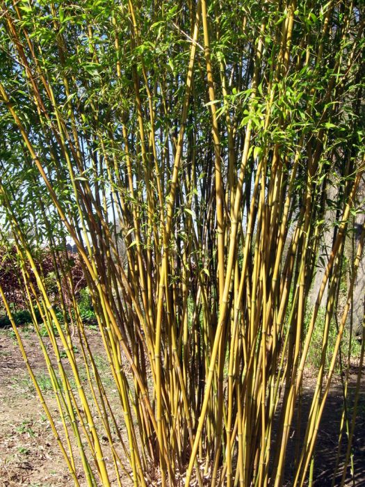 green-glaucous bamboo