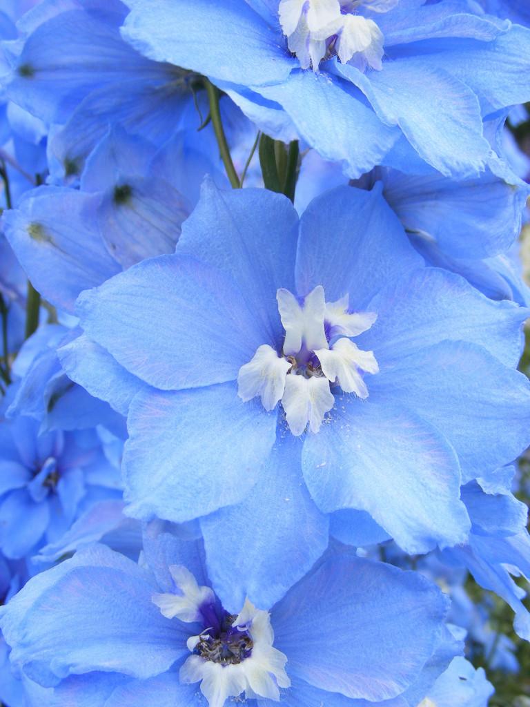 delphinium 'Centurion Sky Blue'