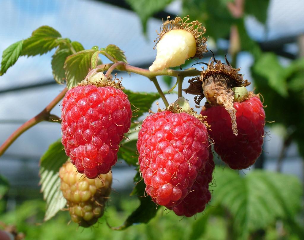 raspberry 'Malling Minerva'