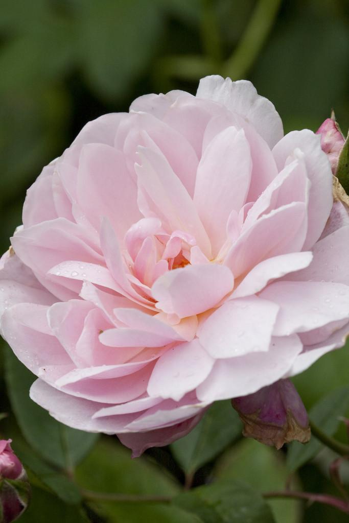 rose [Mortimer Sackler]