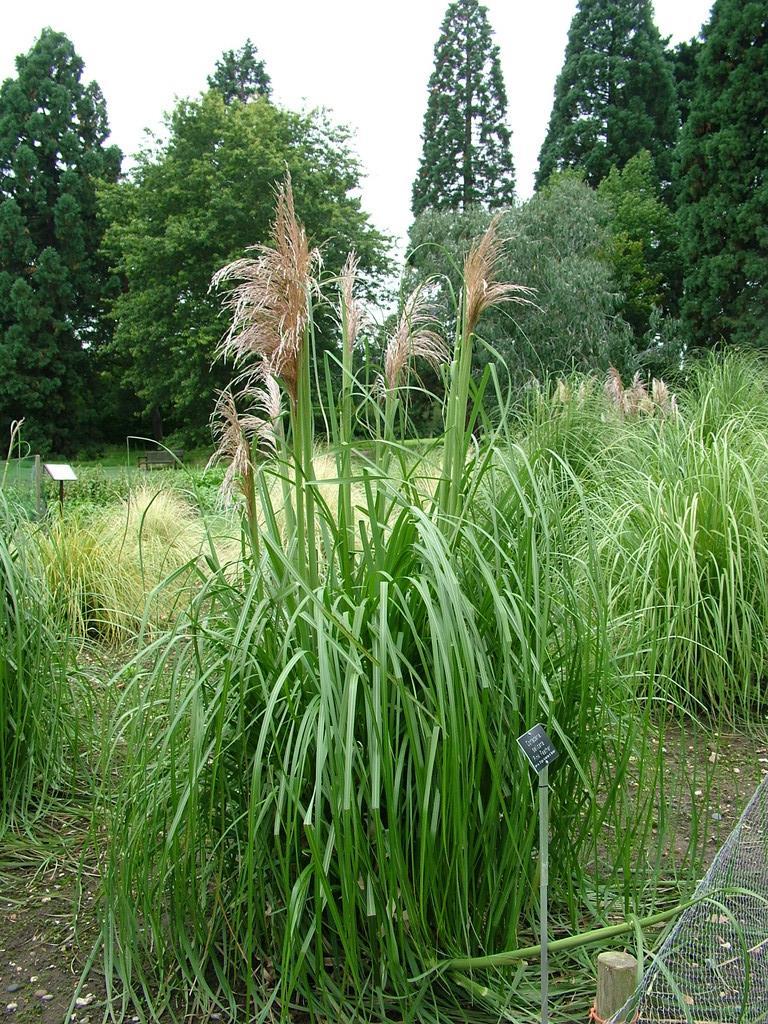 pampas grass 'Pink Feather'