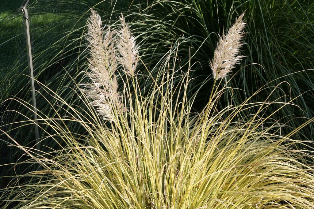 pampas grass 'Splendid Star'