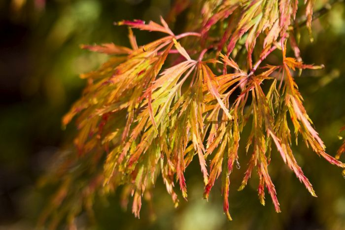 Japanese maple Dissectum Viride Group