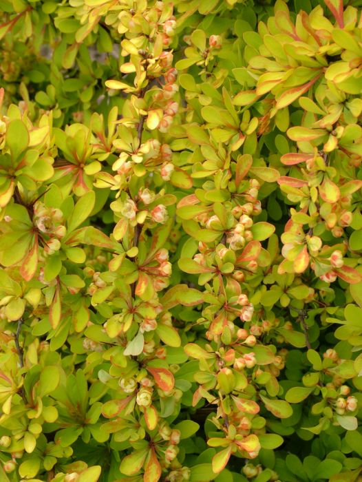 Japanese barberry 'Diabolic'