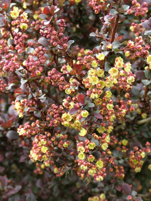 Japanese barberry 'Concorde'