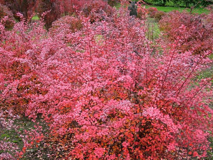 Japanese barberry 'Pink Queen'