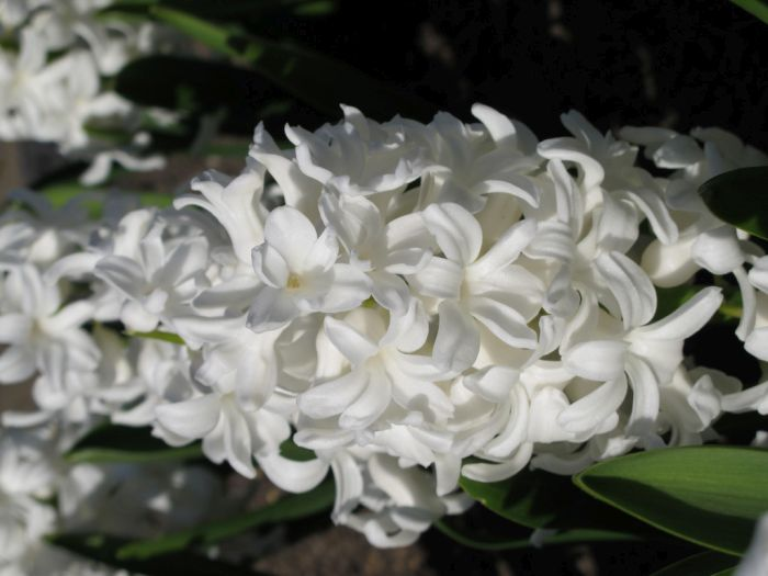 hyacinth 'Fairly'