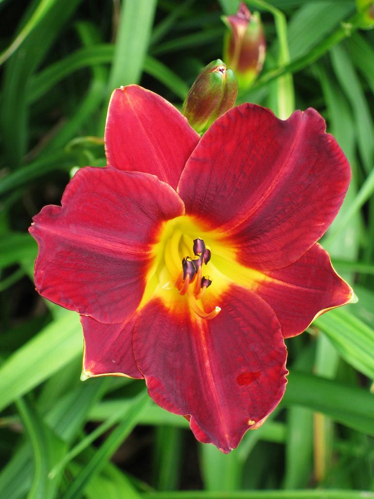daylily 'Garnet Lustre'