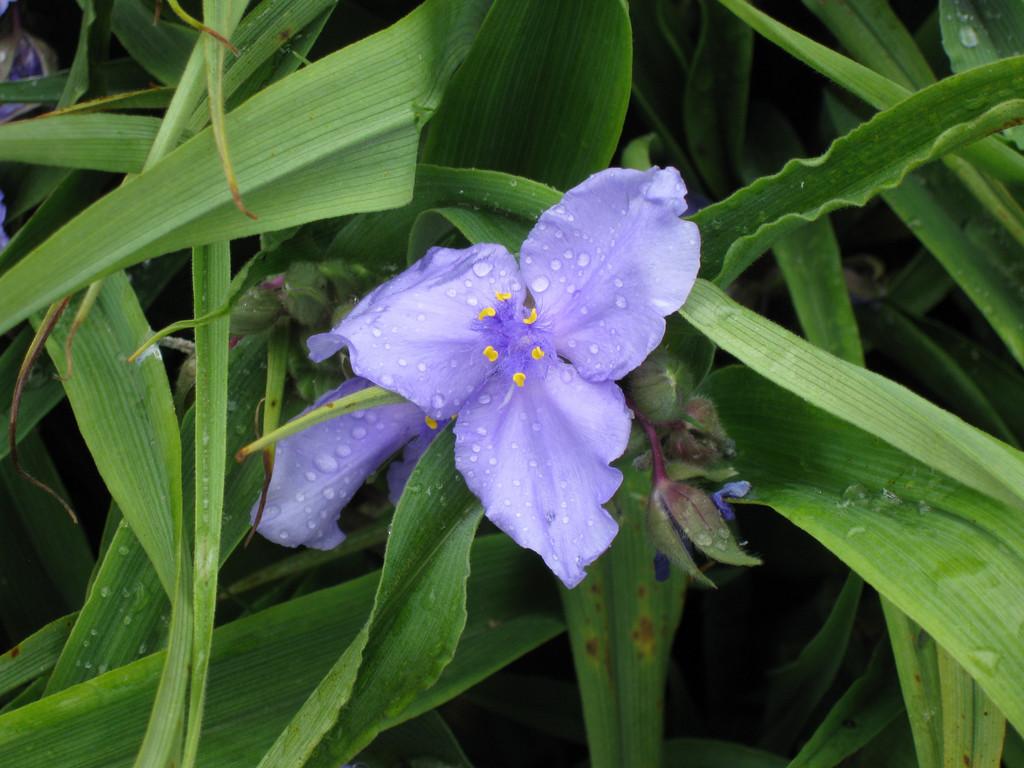 spider lily 'Leonora'