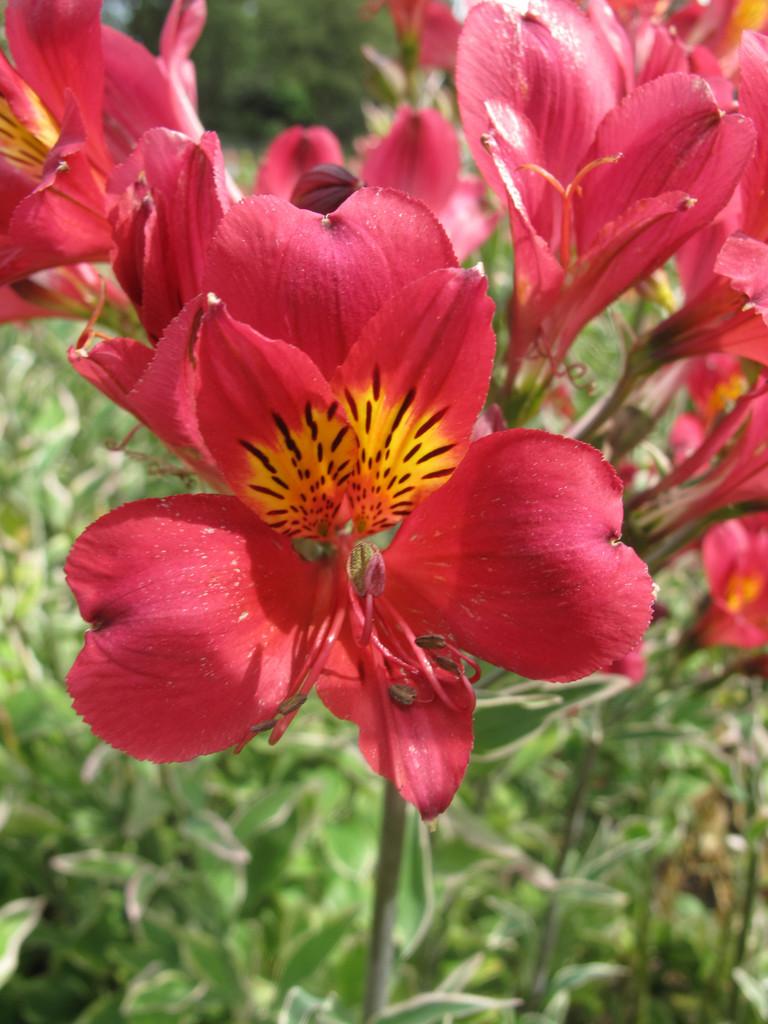 Peruvian lily 'Phoenix'