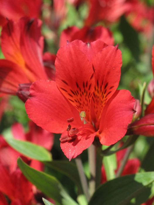Peruvian lily 'Red Elf'