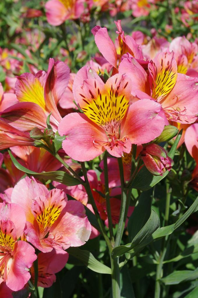 Peruvian lily 'Sirius'