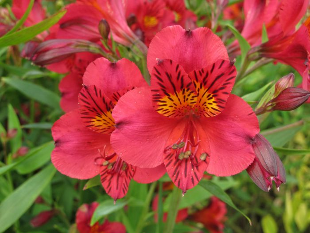 Peruvian lily 'Tessa'