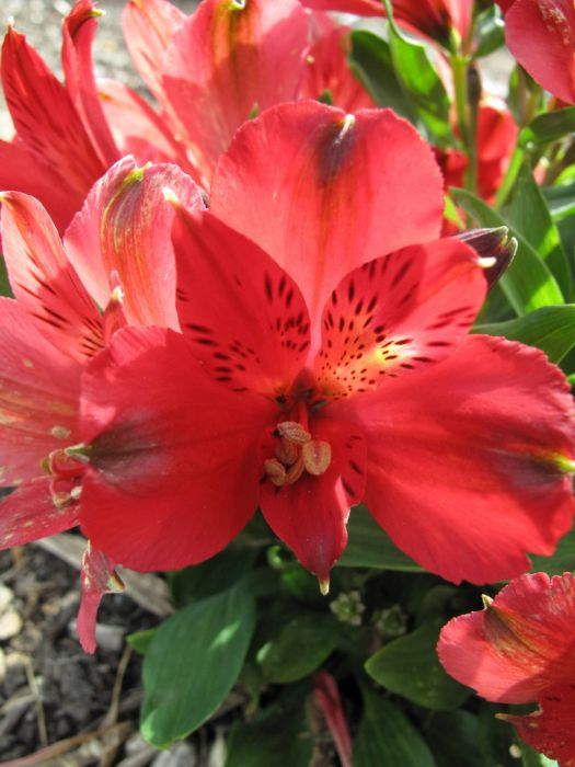 Peruvian lily [Inticancha Red]