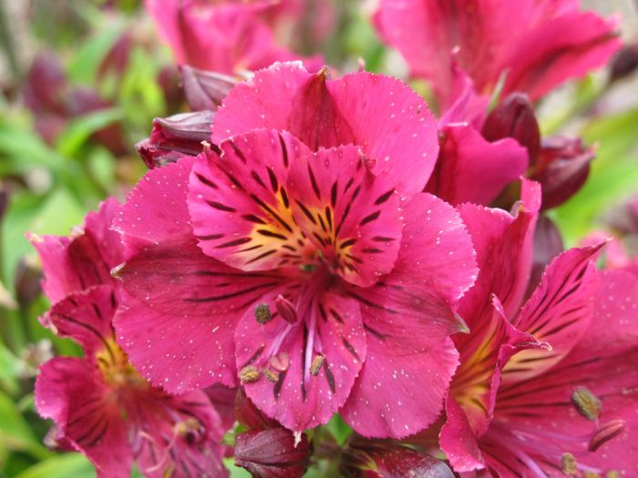 Peruvian lily [Princess Louise]