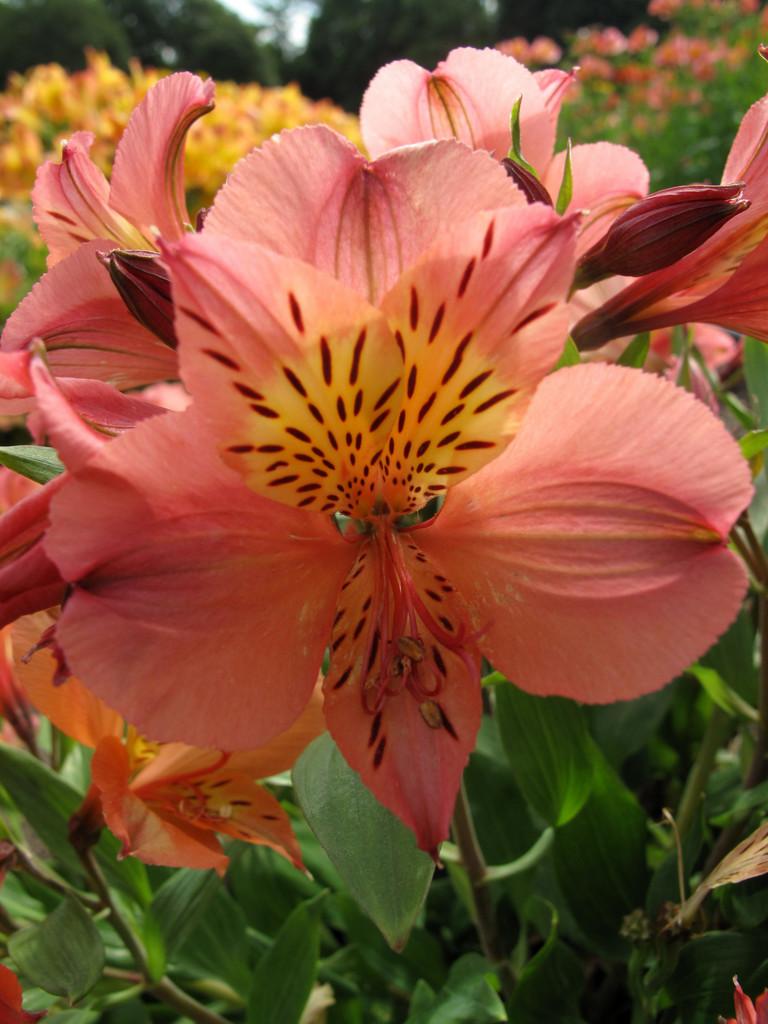 Peruvian lily [Princess Mathilde]