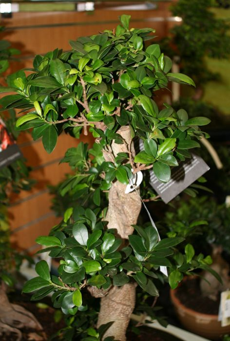 Indian laurel