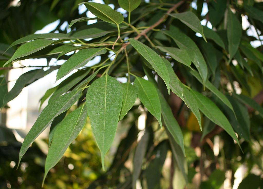 narrow-leaf fig