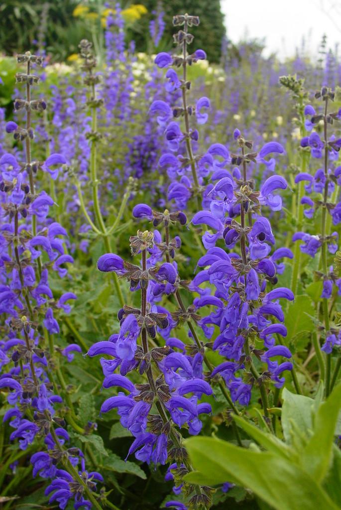 Salvia Pratensis Meadow Clary Rhs Gardening