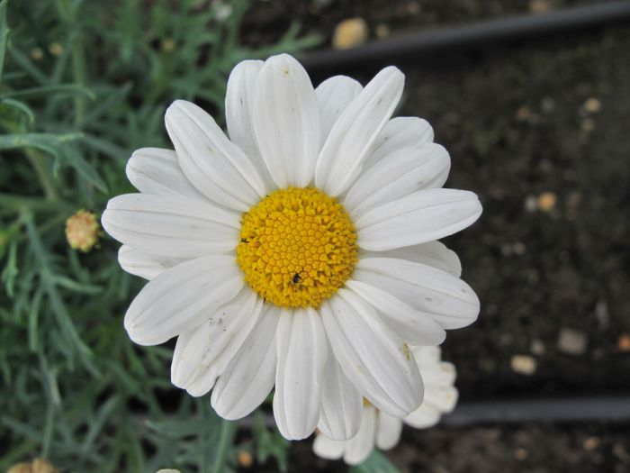 marguerite [LaRita White Beauty]