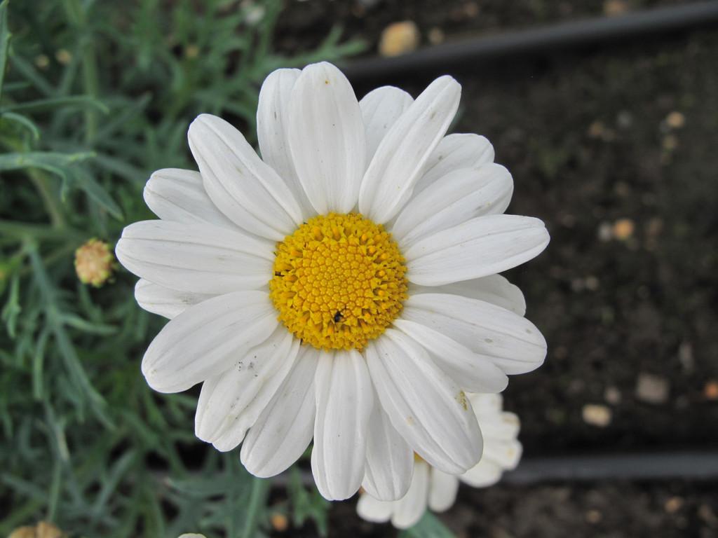 marguerite [LaRita White Beauty]