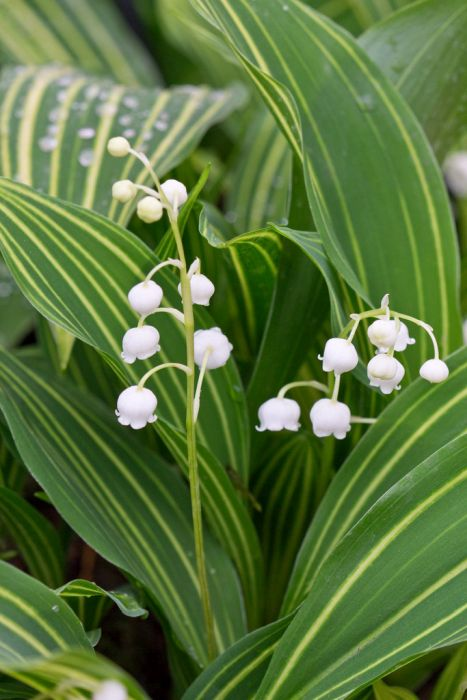 lily of the valley 'Albostriata'