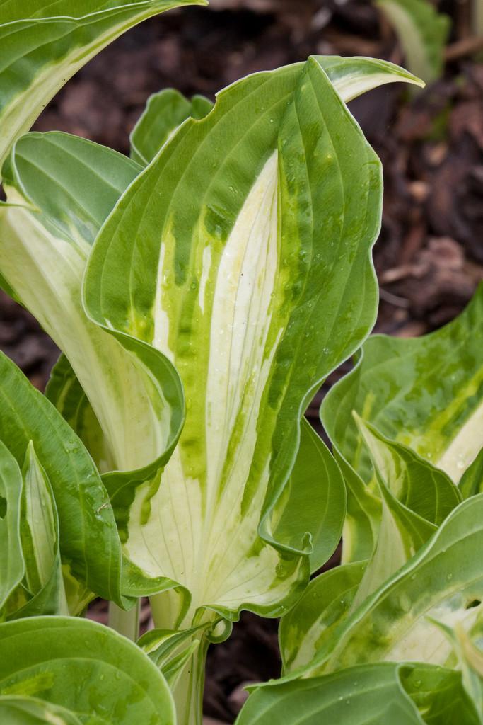 plantain lily 'Allegan Fog'