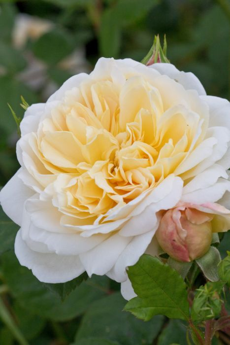 Rosa Crocus Rose Ausquest Pbr S Rose Crocus