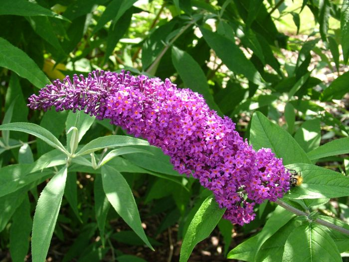 butterfly bush 'Border Beauty'